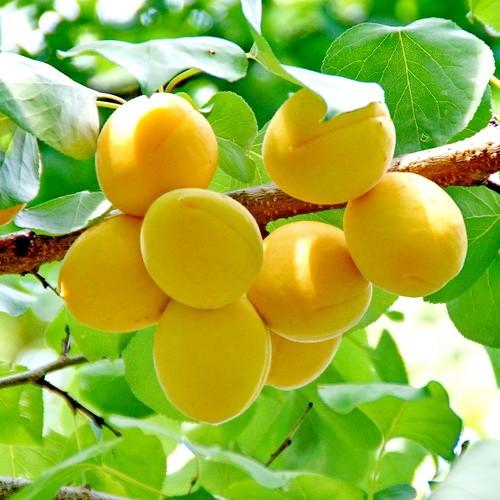 Саженцы абрикоса оптом