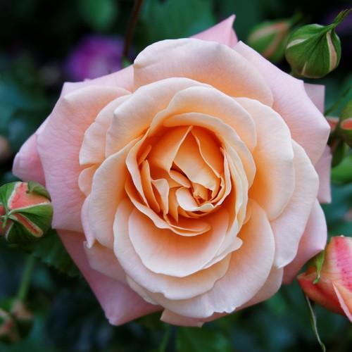 Саженцы роз купить в Крыму оптом