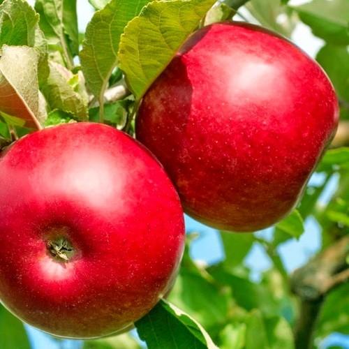 Саженцы яблони купить в Крыму оптом
