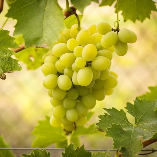 Саженцы винограда оптом