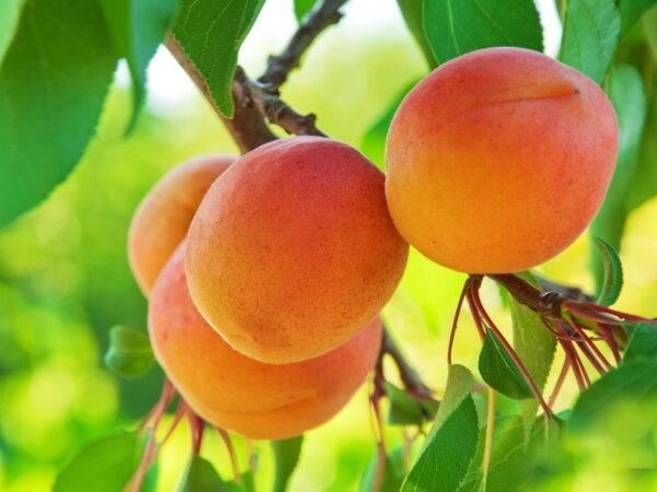 Абрикос Персиковый купить саженцы абрикоса по оптовым ценам и в розницу, доставка Россия