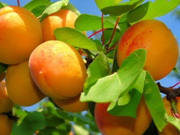 Абрикос Мелитопольский ранний купить саженцы абрикоса опт и розница в Крыму