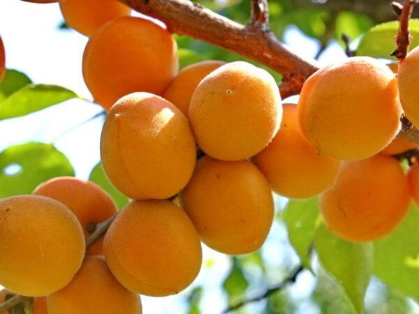 Абрикос Крупноплодный саженцы абрикоса опт и розница в Крыму