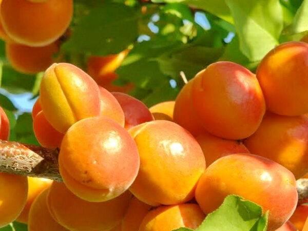Абрикос Сирена купить саженцы опт и розница на саженцы абрикоса в Крыму