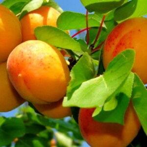 Абрикос Июньский ранний саженцы купить в Крыму, оптом и розница цена на саженцы абрикоса