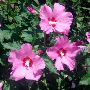 Гибискус Древовидный Розовый купить в Крыму недорого