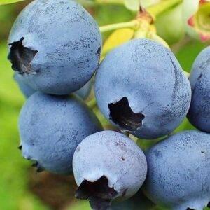 Голубика Беркли купить саженцы цены в Крыму