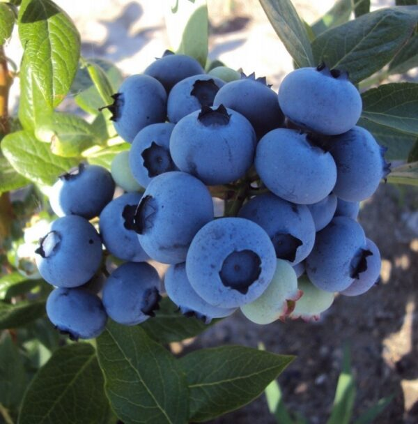 Голубика Дюк купить саженцы в Крыму недорого питомник