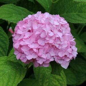Гортензия розовая купить саженцы в Крыму