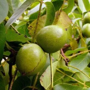 Грецкий орех Краснодарец купить саженцы цены в Крыму