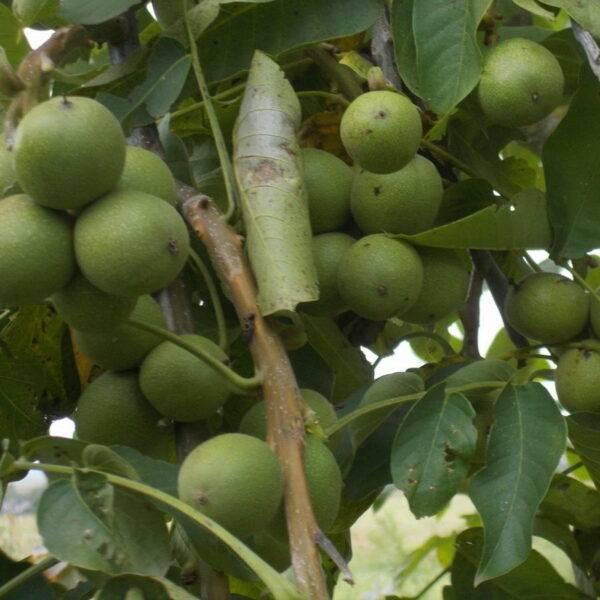 Грецкий орех Урожайный купить саженцы цены в Крыму
