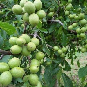 Грецкий орех Великан купить саженцы в розницу и оптом