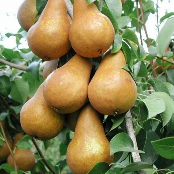 Груша Бера Боск купить саженцы груши в Крыму