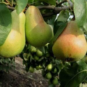 Груша Вильямс летний купить саженцы в Крыму цены на грушу опт и розница