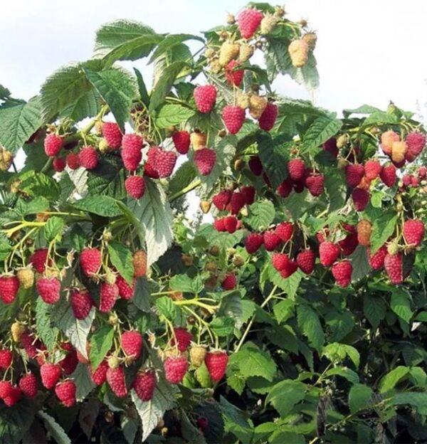 Малина дерево Сказка купить саженцы в Крыму