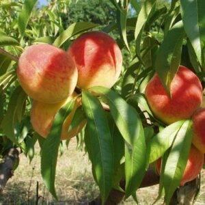 Персик Крымская Осень купить саженцы в Крыму