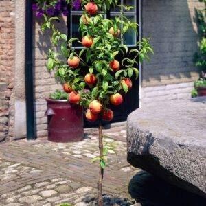 Персик Медовый колоновидный купить саженцы в Крыму цены