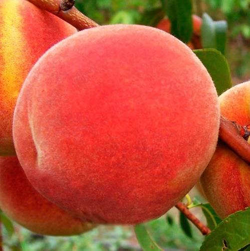 Персик Онтарио купить саженцы цена в Крыму