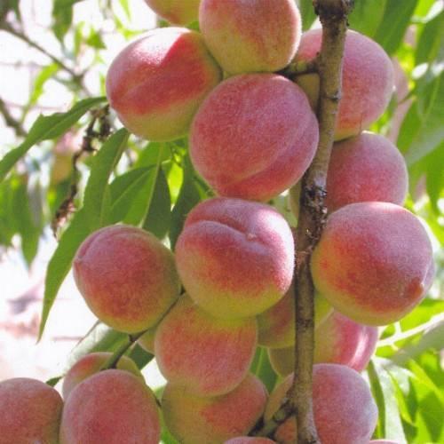 Персик Пандора колоновидный купить саженцы вКрыму