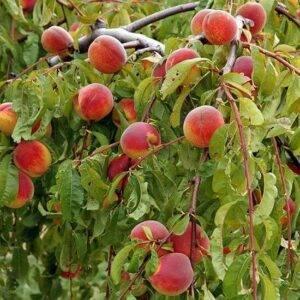 Персик Плакучий купить саженцы в Крыму