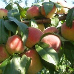 Персик Вайн Голд купить саженцы в Крыму цены