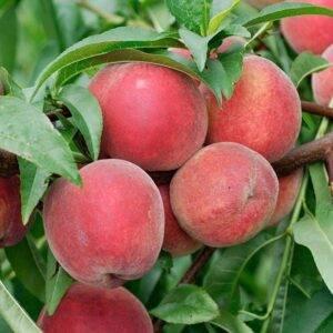Персик Золотой Триумф купить цаженцы цены в Крыму недорого