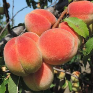 Персик Золотой Юбилей купить саженцы в Крыму