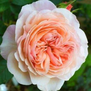 Роза английская Чарльз Остин продажа саженцев цена в Крыму