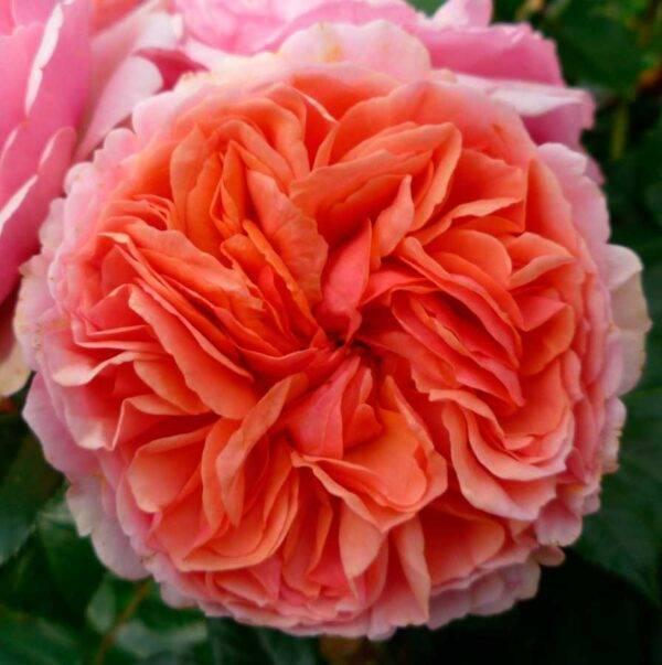 Роза английская Чиппендейл продажа саженцев в Крыму недорого