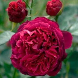 Роза английская Фольстафф купить саженцы в Крыму недорого