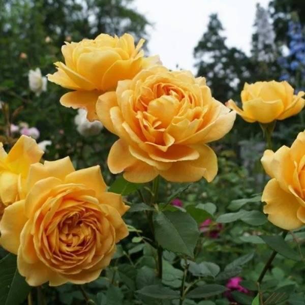 Роза английская Голден Селебрейшн саженцы недорого цена Крым