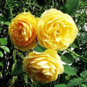 Роза английская Грэхам Томас купить саженцы цена в Крыму