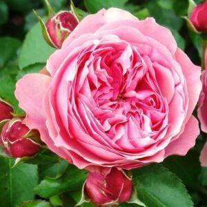 Роза английская Леонардо да Винчи купить саженцы в Крыму