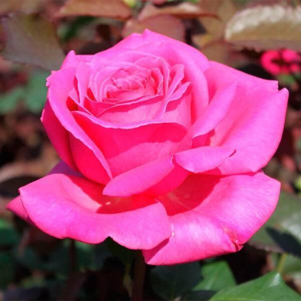 Роза чайно-гибридная Атташе купить саженцы в Крыму недорого розы