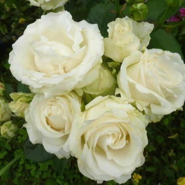 Роза чайно-гибридная Аваланж купить саженцы в Крыму