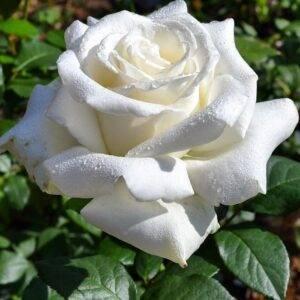 Роза чайно-гибридная Боинг купить саженцы в Крыму