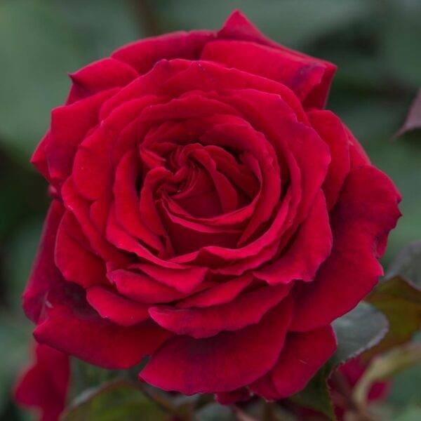 Роза чайно-гибридная Булс Айс купить саженцы цены в Крыму недорого