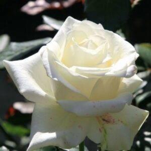 Роза чайно-гибридная Эдванс купить саженцы в Крыму