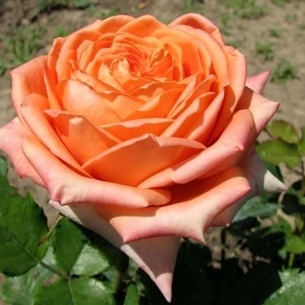 Роза чайно-гибридная Эльдорадо купить саженцы в Крыму