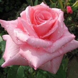 Роза чайно-гибридная Графиня Беттина купить саженцы в Крыму недорого