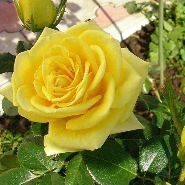 Роза чайно-гибридная Илиос купить саженцы цены в Крыму недорого