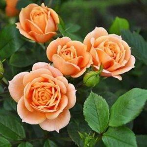Роза чайно-гибридная Клементина купить саженцы в Крыму недорого