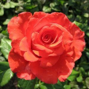 Роза чайно-гибридная Корвет купить саженцы цены в Крыму недорого