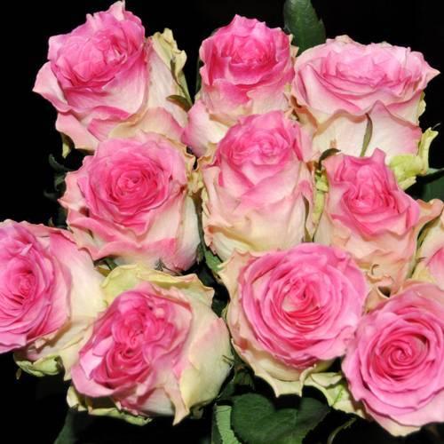 Роза чайно-гибридная Малибу купить саженцы в Крыму