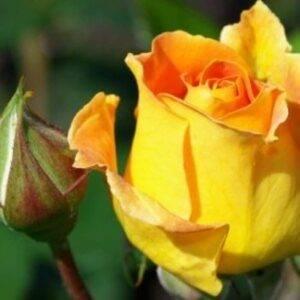 Роза чайно-гибридная Папилон купить саженцы в Крыму