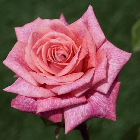 Роза чайно-гибридная Пьер Карден купить саженцы цена в Крыму