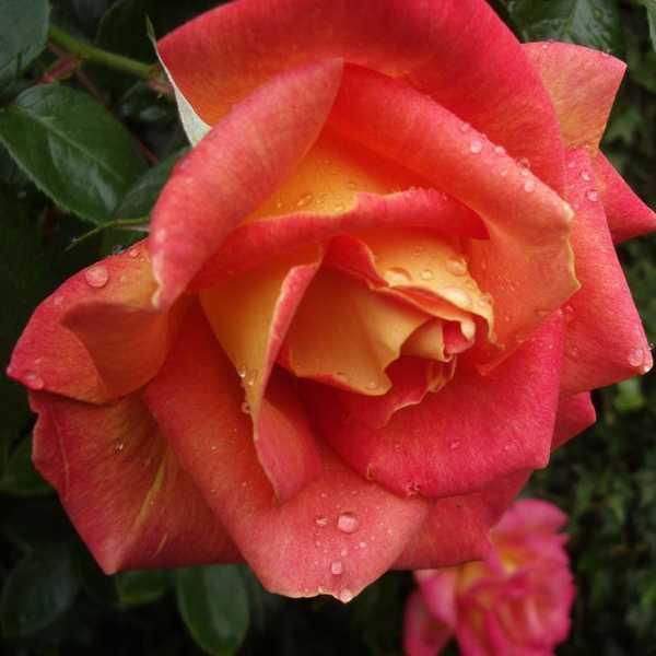 Роза чайно-гибридная Пикадилли купить саженцы в Крыму