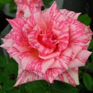 Роза чайно-гибридная Пинк Интуишн купить саженцы в Крыму