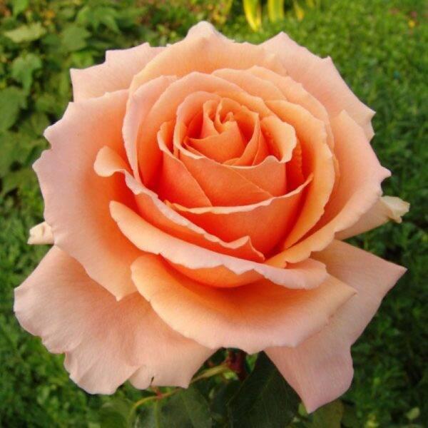 Роза чайно-гибридная Примадонна купить саженцы цена в Крыму