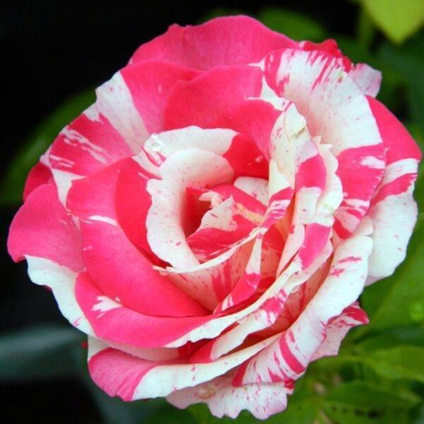 Роза чайно-гибридная Сатина купить саженцы в Крыму